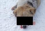 ВНовокузнецке сторожевую собаку убили дротиком вглаз (фото, 18+)