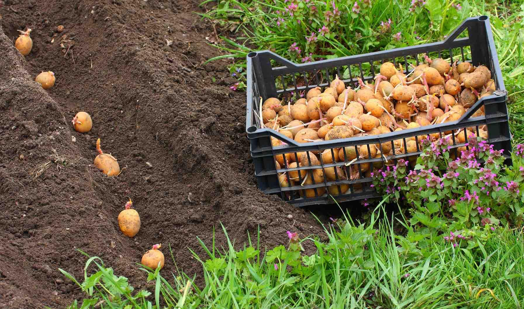 Когда сажать картофель: календарь на 2020 год