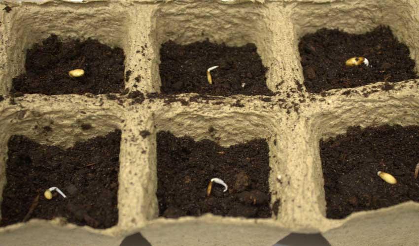 Благоприятные дни посадки семян огурцов в 2020 году