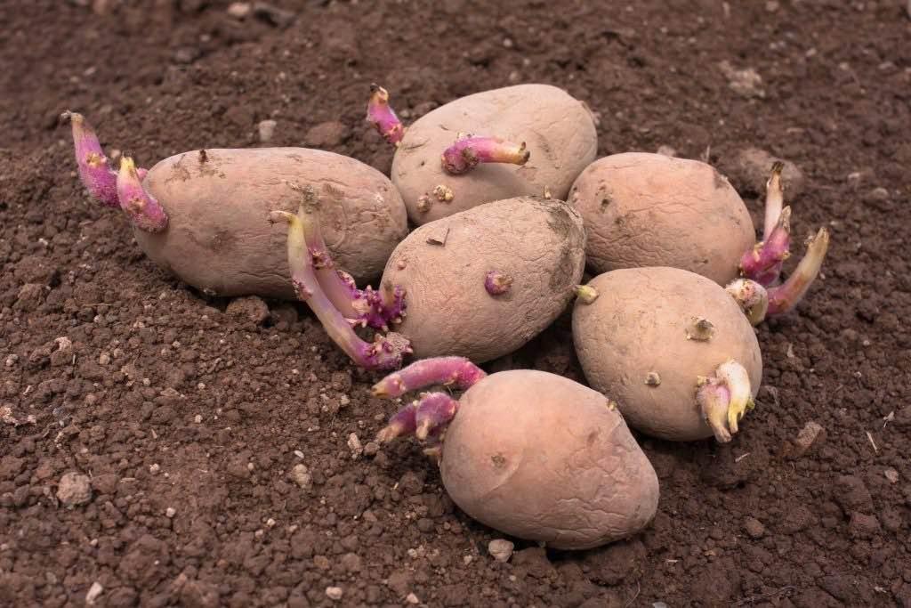 Посадка картофеля по Лунному календарю в мае 2020