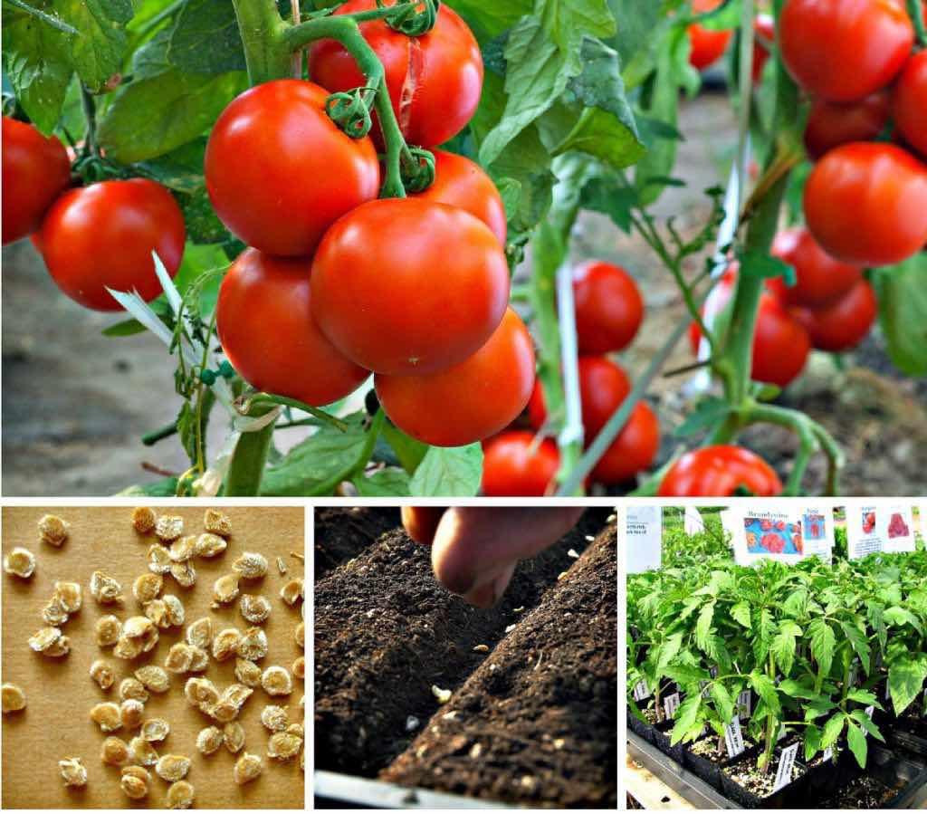 Благоприятные дни в мае для посадки помидоров по Лунному календарю 2020